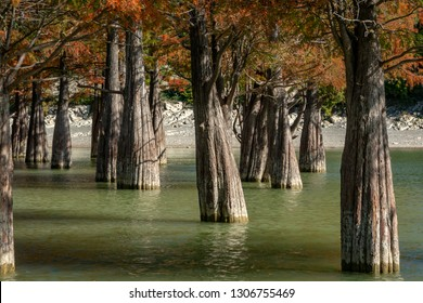 Art from nature. The trunks of swamp cypresses are completely unique in their beauty and texture. A group of cypress Taxodium distichum in a lake in Sukko, near the resort town of Anapa.