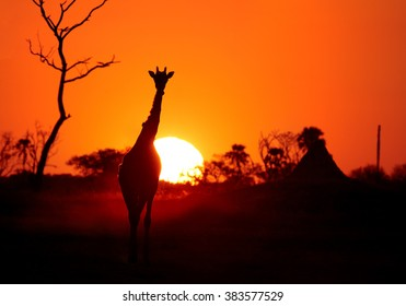 Art photo of  Angolan Giraffe, Giraffa camelopardalis angolensis, backlit by setting sun, coming to waterhole in dusty evening.  Red and dark orange background with palm tree silhouette.  Direct view.