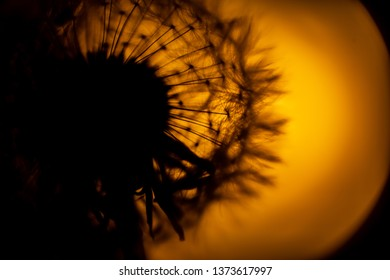 art photo of dandelion seeds close-up