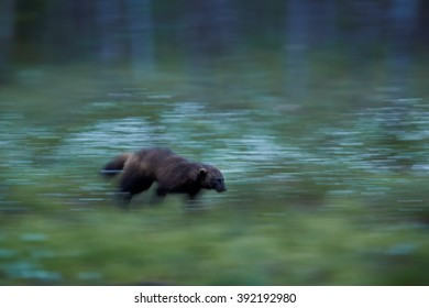 Art photo  of  Wolverine, Gulo gulo, blurred in motion, in the deep nordic forest during white night, looking for prey. Late spring, Finland, Scandinavia.