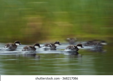 Art view, Common goldeneye Bucephala clangula,sea duck, group of ducklings in the fast swimming movement in lake, expressed by blurred background,deep green meadow reflects on water surface.