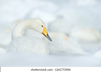 Art view on Whooper Swan, Cygnus cygnus, detail bird portrait, Lake Kusharo, other blurred swan in the background, winter scene with snow, Japan.