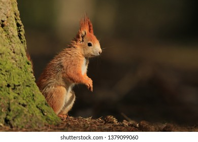 Art view on wild nature. Cute red squirrel with long pointed ears in autumn scene . Wildlife in November forest. Squirrel sitting on GROUND.. Sciurus vulgaris