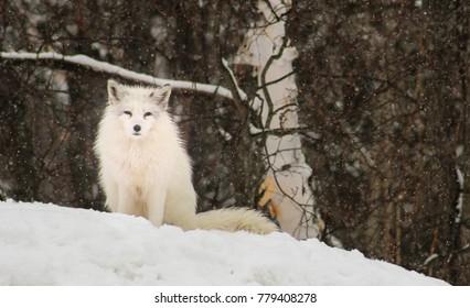 Artctic fox in the snow