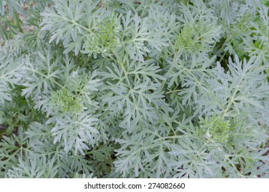 Artemisia absinthium (absinthium, absinthe wormwood, wormwood, common wormwood, green ginger or grand wormwood)