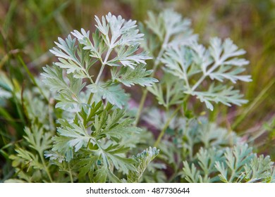 Artemisia absinthium (absinthium, absinthe wormwood, wormwood, common wormwood, green ginger or grand wormwood)