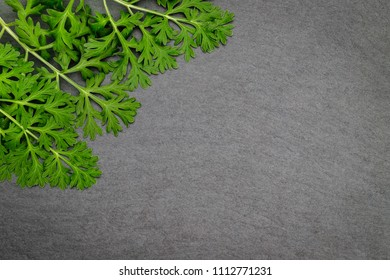 Artemisia absinthium ( absinthe, absinthium, absinthe wormwood, wormwood ) leaves on black slate  background, close up