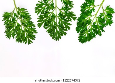 Artemisia absinthium ( absinthe, absinthium, absinthe wormwood, wormwood ) leaves on white background, copy space, herbal green frame