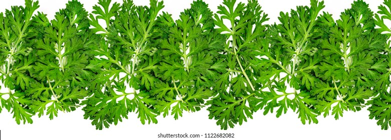 Artemisia absinthium ( absinthe, absinthium, absinthe wormwood, wormwood ) leaves on white background, banner frame