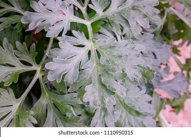 Artemisia absinthium ( absinthe, absinthium, absinthe wormwood, wormwood ) plant, close up