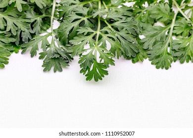 Artemisia absinthium ( absinthe, absinthium, absinthe wormwood, wormwood ) plant, close up on white background