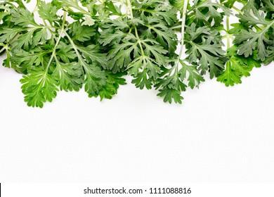 Artemisia absinthium ( absinthe, absinthium, absinthe wormwood, wormwood ) plant on white background, close up