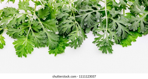 Artemisia absinthium ( absinthe, absinthium, absinthe wormwood, wormwood ) plant on white background, close up