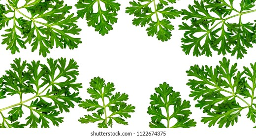Artemisia absinthium ( absinthe, absinthium, absinthe wormwood, wormwood , sagebrush ) leaves on white background, copy space, herbal frame on white background