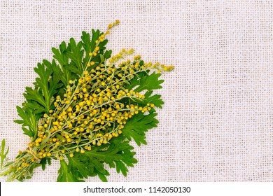 Artemisia absinthium ( absinthe, absinthium, absinthe wormwood, wormwood ) yellow flowers and green leaves on white linen cloth napkin, close up