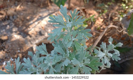 Artemisia absinthium aslo called as wormwood, grand wormwood, absinthe