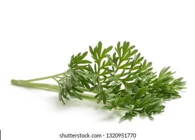 Artemisia absinthium  branch isolated on white