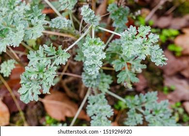 Artemisia absinthium leaves in garden, close up. Green plant in garden, close up. Artemisia absinthium ( absinthe, absinthium, absinthe wormwood, wormwood ) plant, closeup