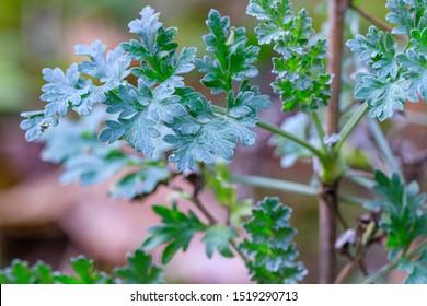 Artemisia absinthium leaves in garden. Green plant in garden, close up. Artemisia absinthium ( absinthe, absinthium, absinthe wormwood, wormwood ) plant, closeup