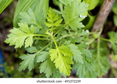 Artemisia annua L., plants and herbs with medicinal properties treat fever.