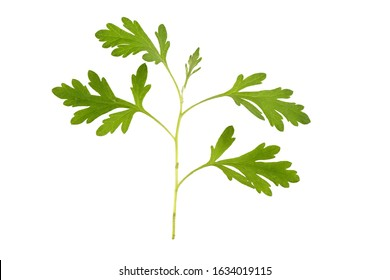 Artemisia annua,branch and green leaves on a white background.