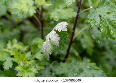 """Artemisia argyi, the Mugwort, chinese name""""ai"""". Can be used in traditional Chinese medicine and Chinese food."""