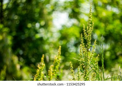 Artemisia or common names for various species in the genus include mugwort, wormwood, and sagebrush.