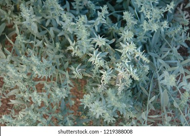 Artemisia ludoviciana background or  western mugwort, silver wormwood, Louisiana wormwood, white sagebrush, and gray sagewort, white sage, Louisiana sage, Prairie sage.