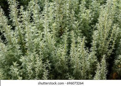 Artemisia - mugwort, wormwood, and sagebrush belonging to the daisy family Asteraceae
