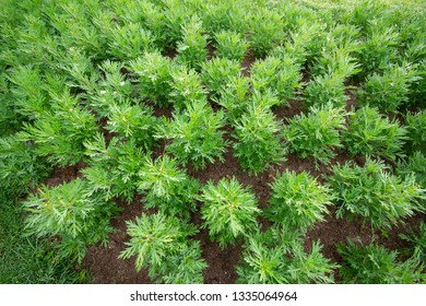 Artemisia pattern on soil background.(Artemisia sieversiana)