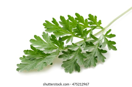 artemisia sprig isolated on white