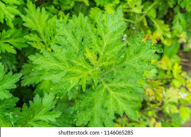 Artemisia vulgaris, Artemisia annua in the herb garden