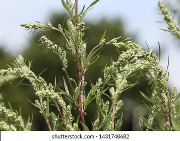 Artemisia vulgaris, also known as common mugwort, riverside wormwood, felon herb, chrysanthemum weed, wild wormwood. Blooming in spring