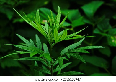 Artemisia vulgaris (mugwort, common wormwood) ; An appearance green foliage, pinnately compound leaves, Deep concave leaf margin, seeing centerline leaf clearly, thin, strong smell. herbal medicines.