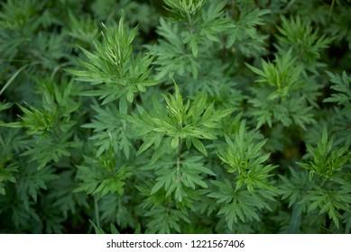Artemisia vulgaris plants