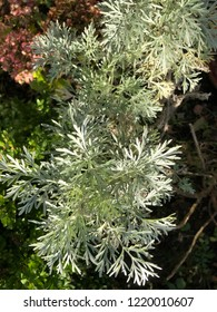 Artemisia Wormwood Absinthe Plant Metsllic Silver Leaves