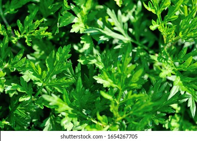 Artemisiae argy growing in the spring sunshine garden