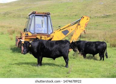 Arthog, Gwynedd, Wales, UK. August 8, 2019.  Two welsh black bulls beside an old JCB on an isolated hillside farm.