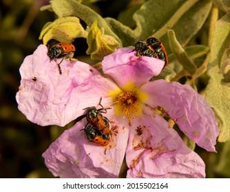 Arthropod pairs mating on the same flower.
