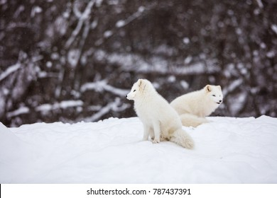 Artic fox family sitting alert in the frozen north of Quebec, Canada.