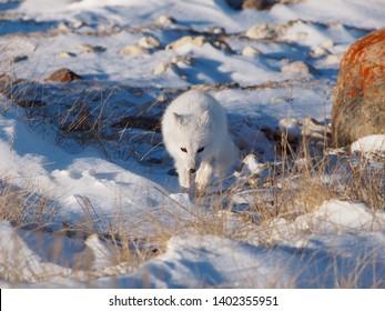 Artic Fox hunting on tundra near Churchill, Manitoba