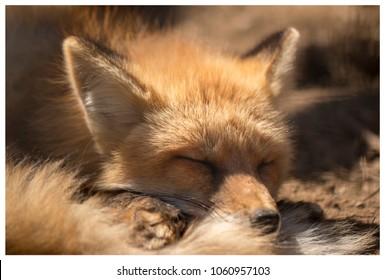 Artic Fox shedding the winter coat and enjoying nap under the sun