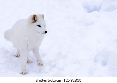 Artic Fox snow