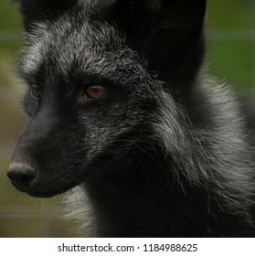 Artic fox in summer coat. Dark, black and grey with brown eyes. Green background.
