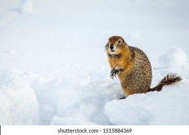 Artic ground squirrel (Spermophilus parryii) standing up on hind legs whilst digging in the snow near the Eielson Visitor Centre in the Denali National Park Alaska USA