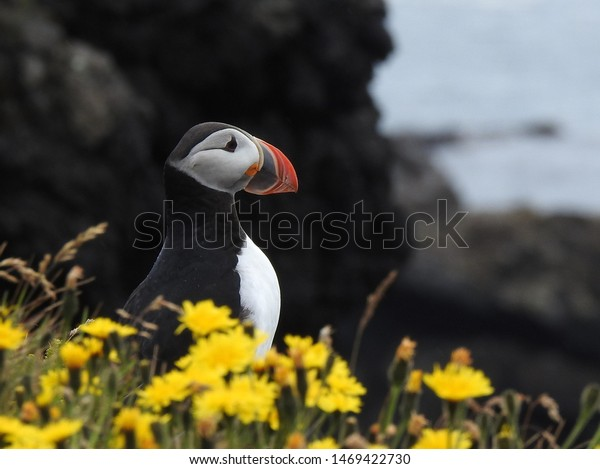 Artic Puffin Perched on Cliff Behind Intentionally Out of Focus Flowers