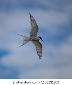 Artic Tern in flight in the South Coast of Iceland