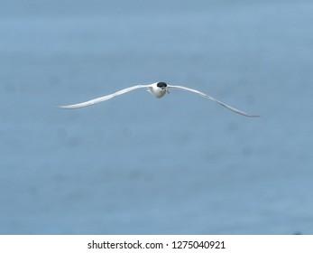 Artic Tern Flying