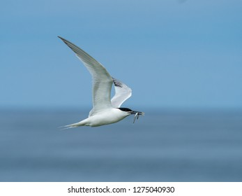 Artic Tern Flying Home with Sandeels.
