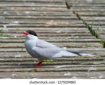 Artic tern, on the grround